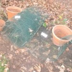 Chicken wire and pot fortress against the squirrels!